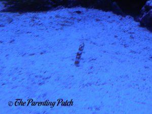 Aquatic Animal Hiding in Sand at the Newport Aquarium