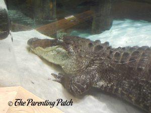 Alligator at the Newport Aquarium