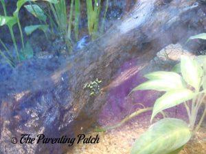Black and Green Frog at the Newport Aquarium