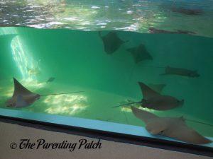 Stingrays at the Newport Aquarium