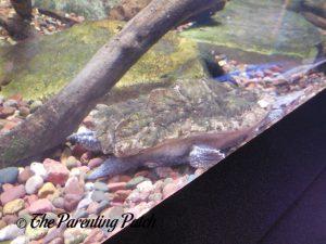 Turtle Under Water at the Newport Aquarium