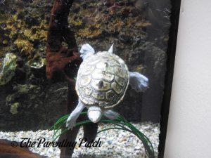 Swimming Turtle at the Newport Aquarium