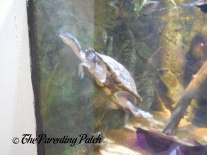 Turtle Swimming at the Newport Aquarium