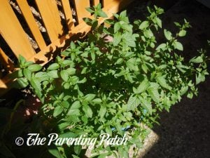 Fresh Peppermint for Peppermint Extract